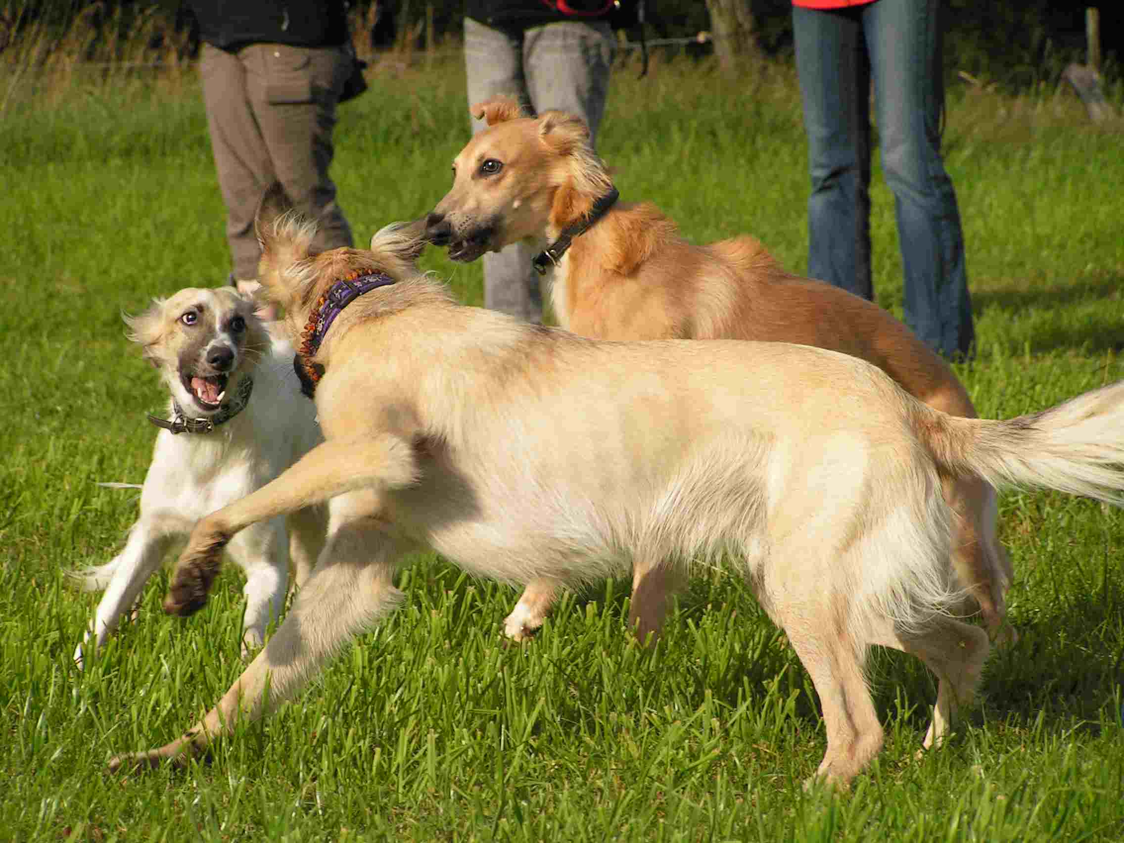 Longhaired Whippet Dog: Longhaired Playing Longhaired Whippet Dogs Breed