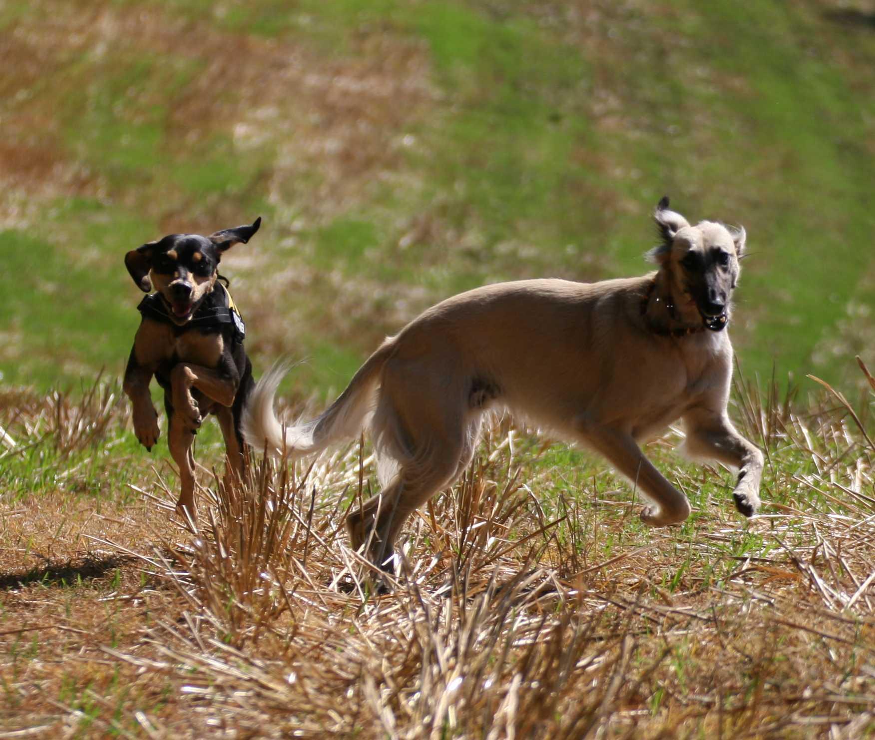 Longhaired Whippet Dog: Longhaired Running Longhaired Whippet Dog Breed