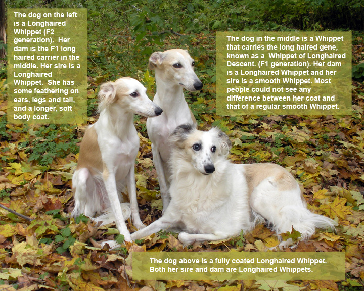 Longhaired Whippet Puppies: Longhaired Showcute Husky Puppies Breed