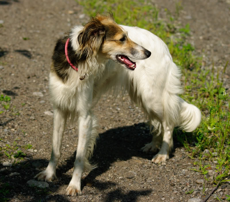 Longhaired Whippet Dog: Longhaired Showthread Breed