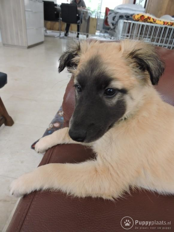 Longhaired Whippet Puppies: Longhaired Silken Windsprite F Longhaired Whippet Breed