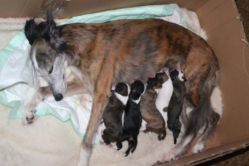 Longhaired Whippet Puppies: Longhaired Stenataen Breed