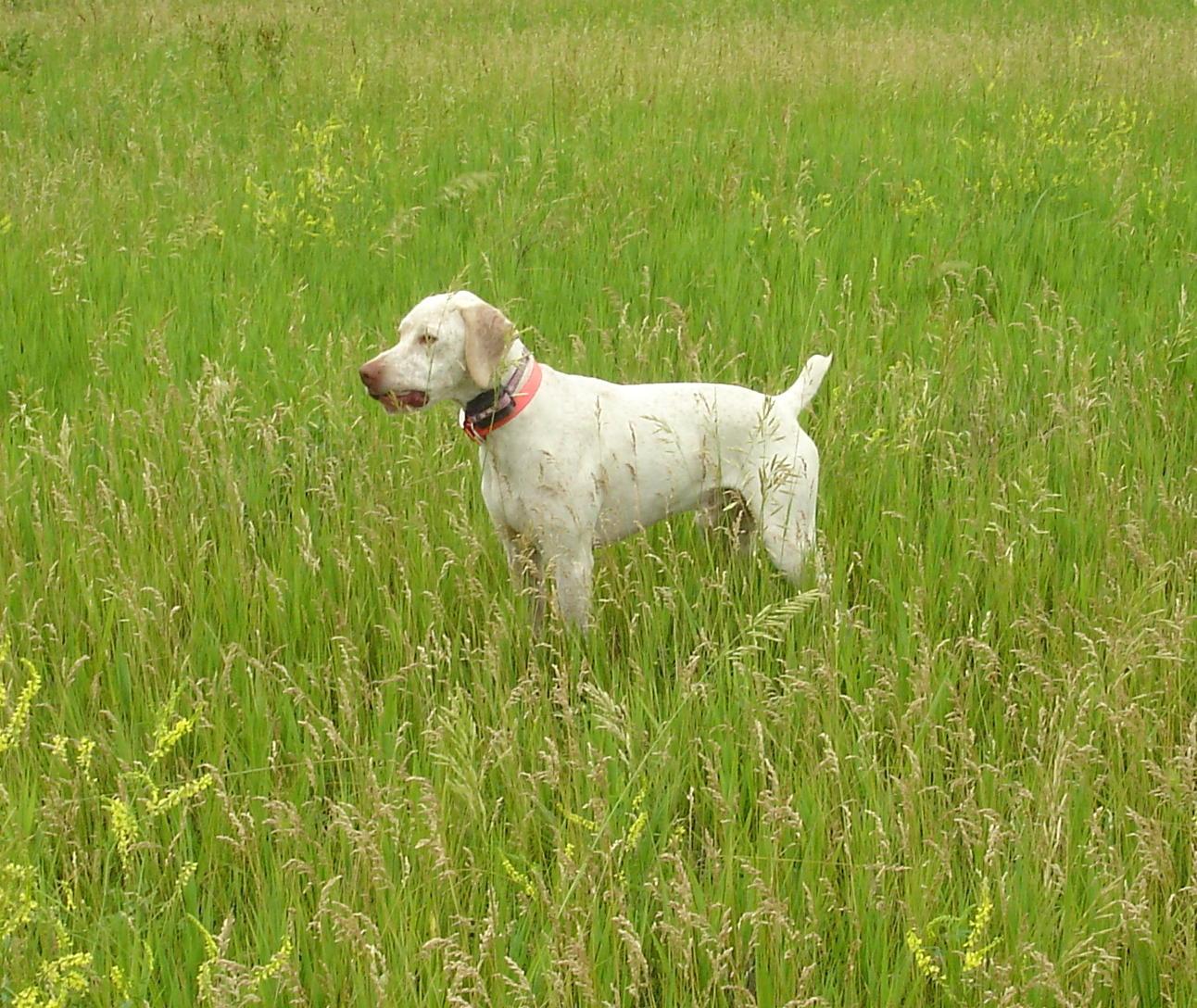 Braque du Bourbonnais Dog: Lovely White Braque Du Bourbonnais Dog Breed