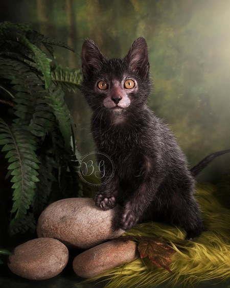 Lykoi Kitten: Lykoi Cat Breeders Breeds Cute Pictures S Creepy Werewolf Cats Lykoi