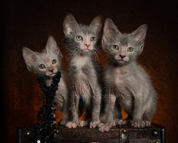 Lykoi Kitten: Lykoi Cats Creepy Cute Decide Breed