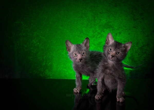 Lykoi Kitten: Lykoi Introducing Werewolves Cats New Face Cat Breeding