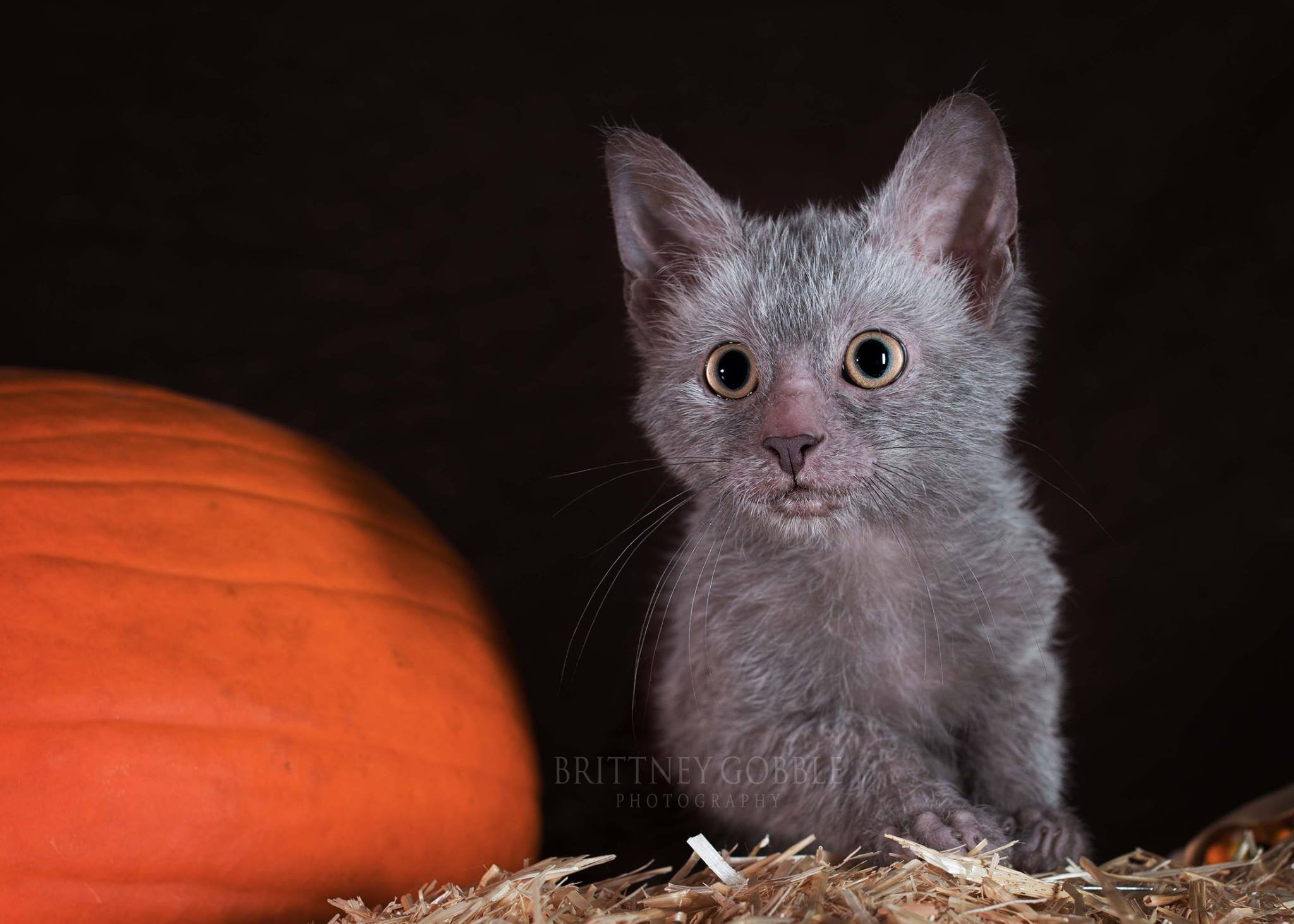 Lykoi Kitten: Lykoi Kittens Breed