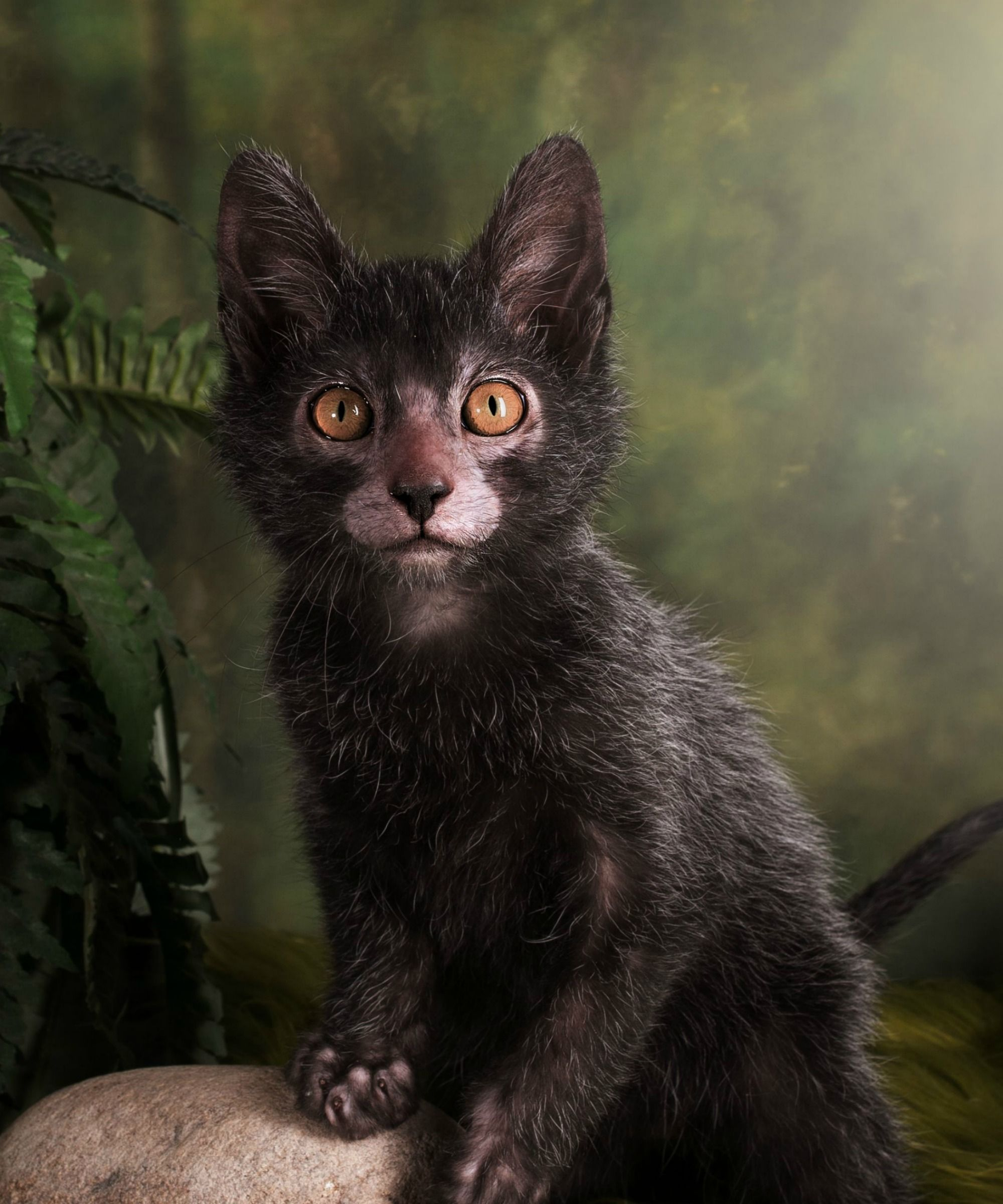Lykoi Cat: Lykoi Lykoi Cat Hollywoods Newest Obsession Highlight Hollywood News Breed