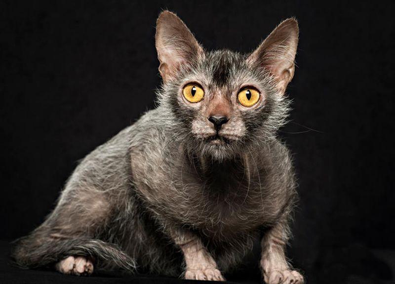 Lykoi Cat: Lykoi Lykoi Cat Koshka Napominajushhaja Volka Breed