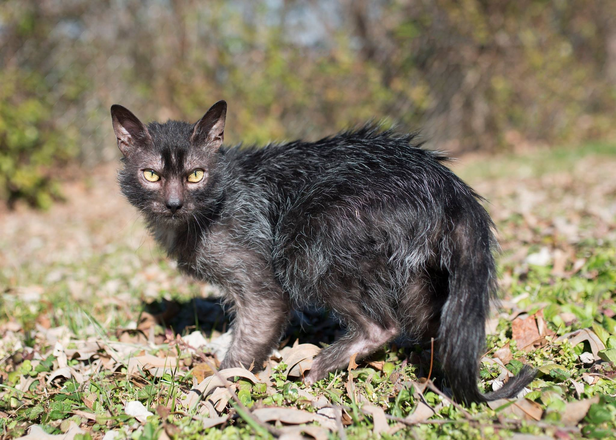 Lykoi Cat: Lykoi Lykoi Cats Dna Mutation Werewolf Gobble Breed