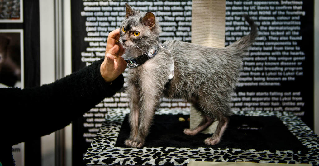 Lykoi Kitten: Lykoi Lykoi Werewolf Cat Is Taking The Internet By Storm Breed