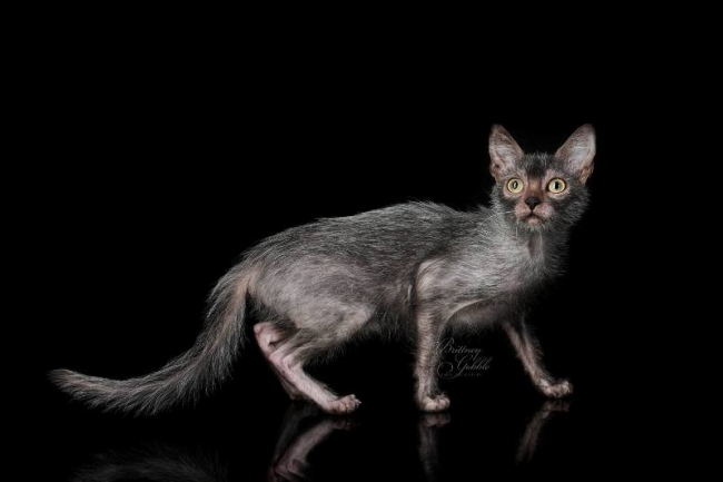 Lykoi Cat: Lykoi Lykoi Werewolf Cats Behave Dogs Hot New Breed