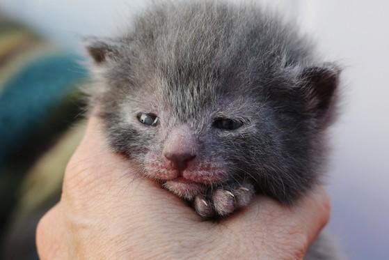 Lykoi Kitten: Lykoi Nadaslykoicats Breed