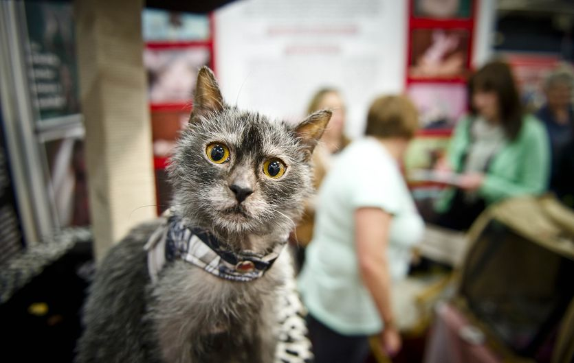 Lykoi Cat: Lykoi Npjpw Breed