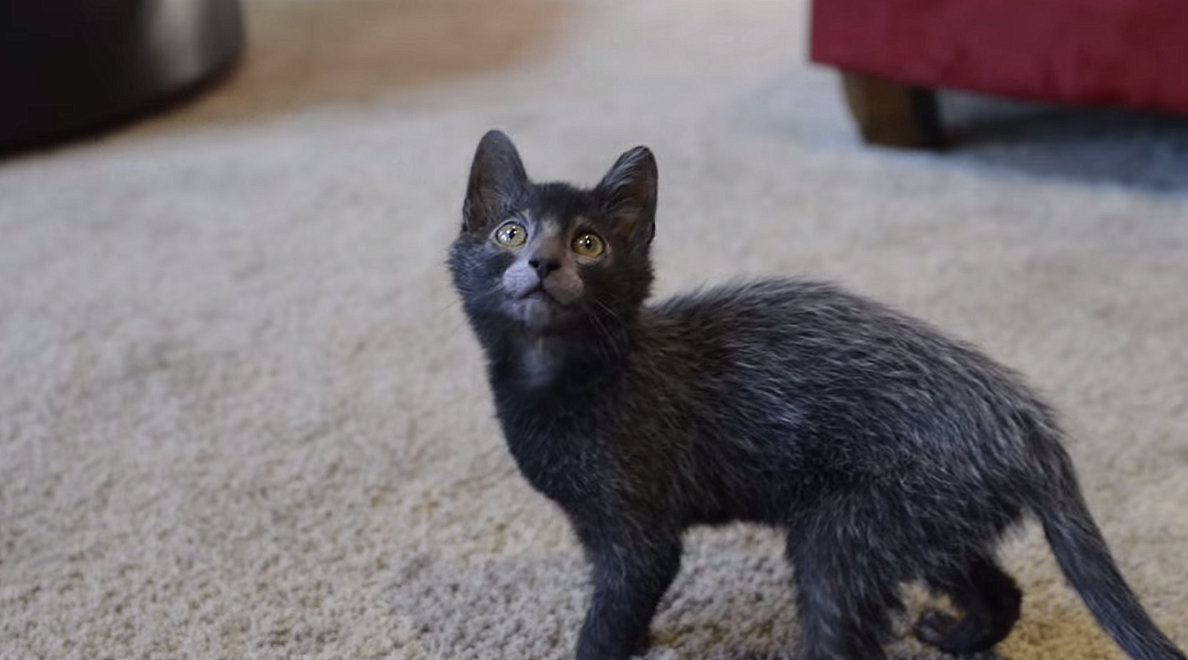 Lykoi Cat: Lykoi S Of Hairless Cat Breeds That Will Capture Your Cat Lady Heart