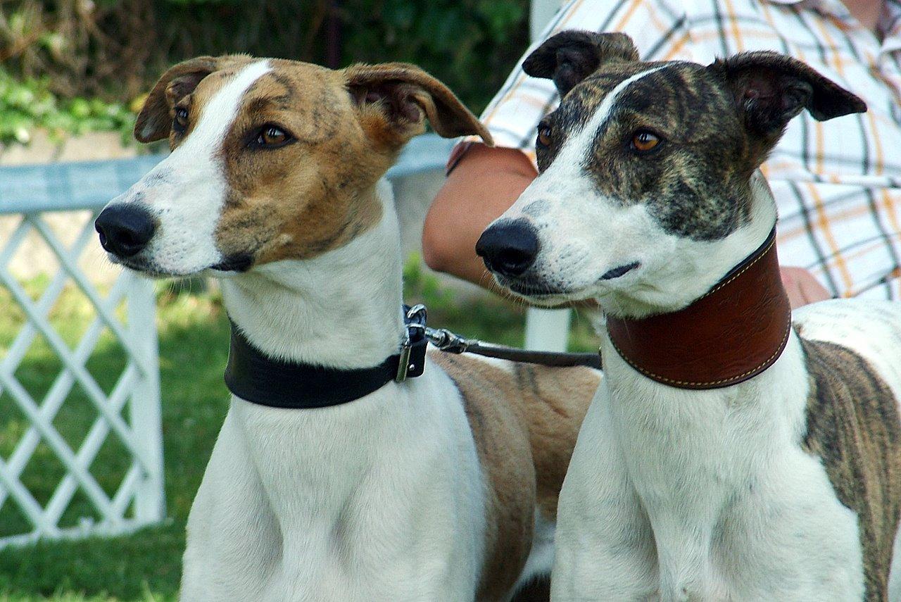 Magyar Agár Puppies: Magyar Breed