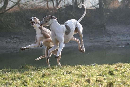 Magyar Agár Puppies: Magyar Httpwwwsighthound Trophycommadbpicsphpozgtjpg Breed