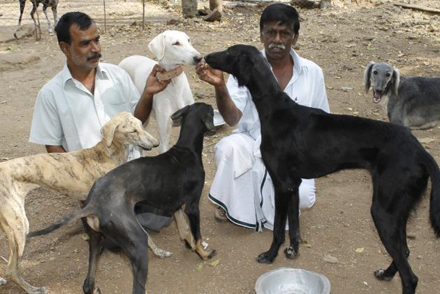 Mahratta Greyhound Dog: Mahratta Dog Breeds Of India