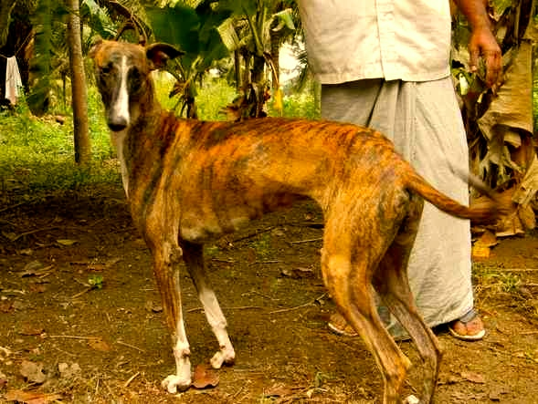 Mahratta Greyhound Dog: Mahratta Rampur Greyhound El Galgo Indio Breed