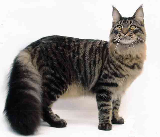 Maine Coon Cat: Maine How To Care For A Maine Coon Cat Breed