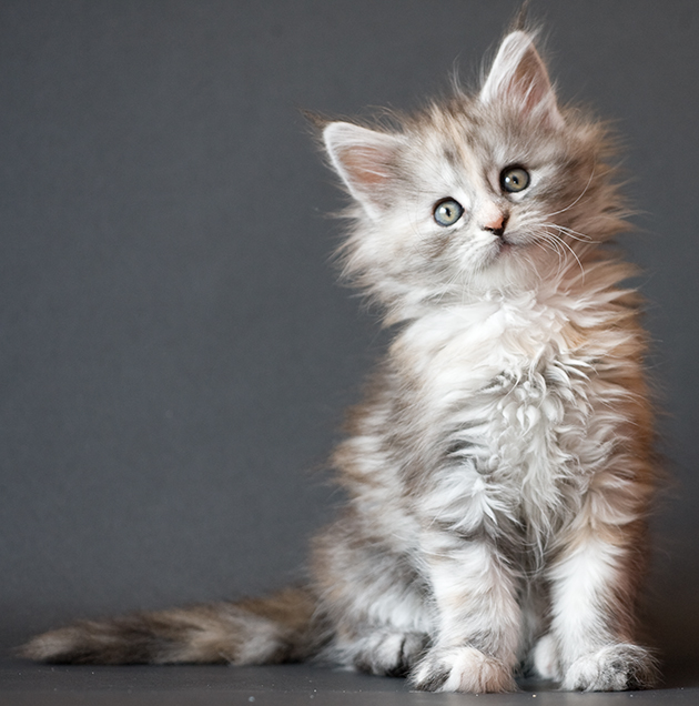 Maine Coon Kitten: Maine Itsy Bitsy Spi Uh Wait Breed