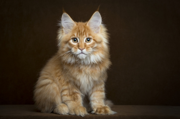 Maine Coon Kitten: Maine Maine Coon Can Help Lengthen Lifespan Breed