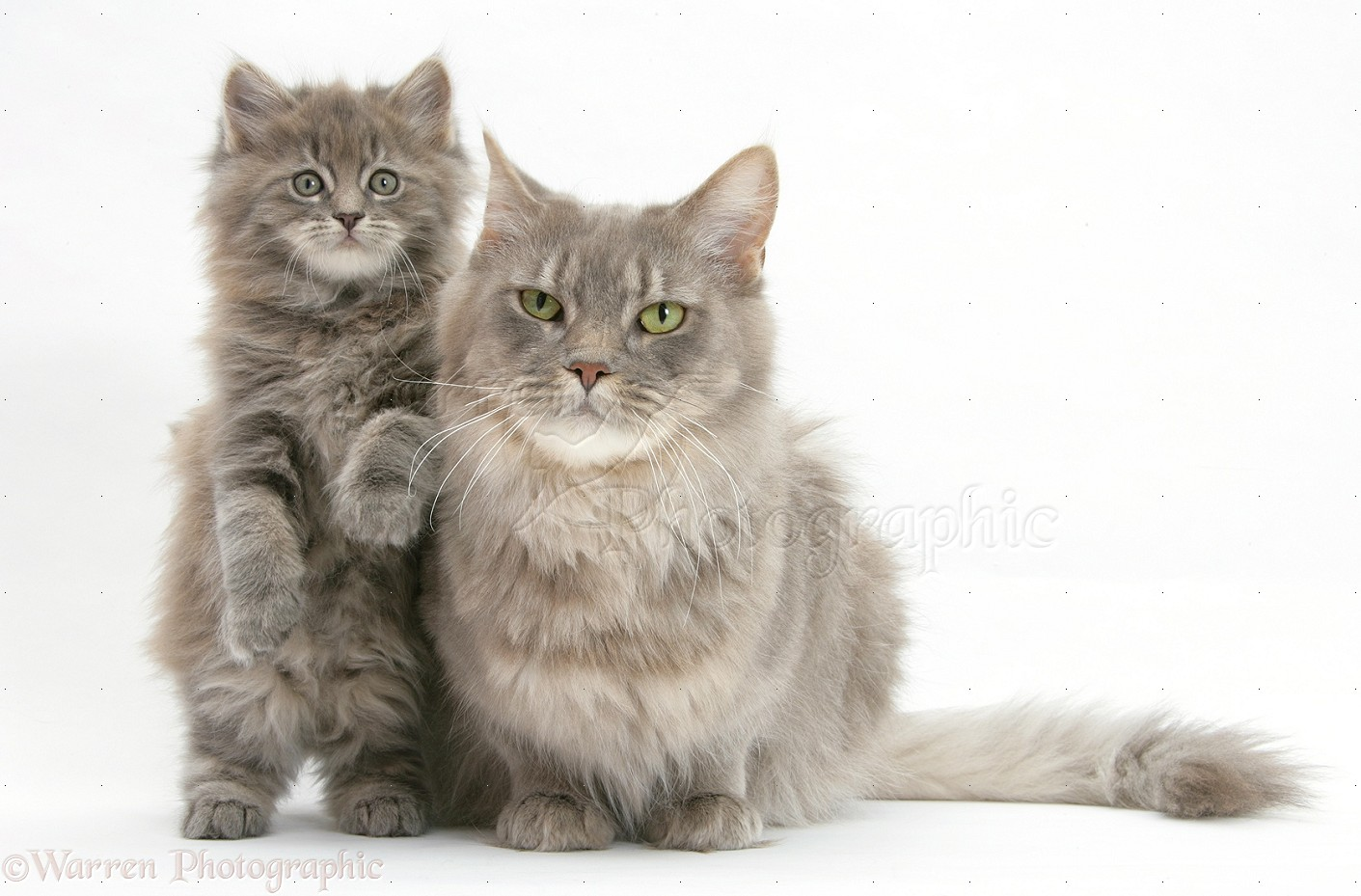 Maine Coon Cat: Maine Maine Coon Cat Jan Breed