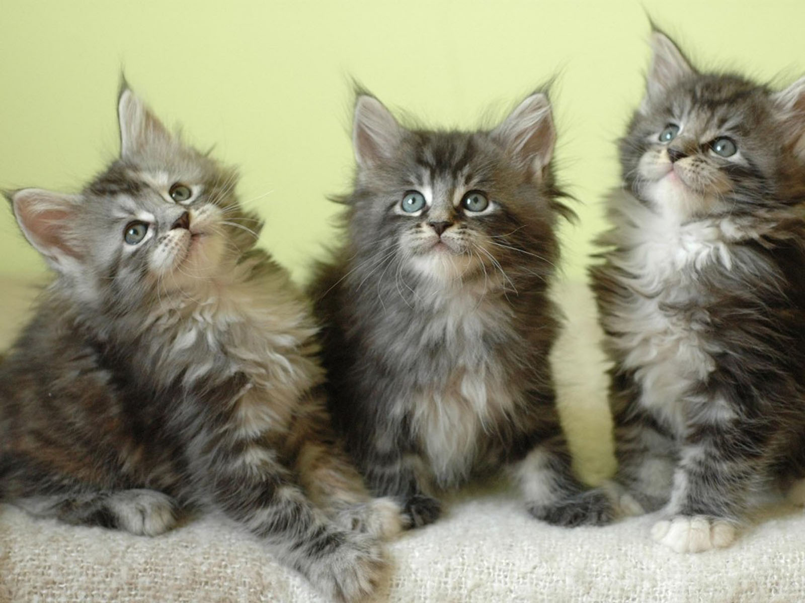 Maine Coon Kitten: Maine Maine Coon Kittens Breed