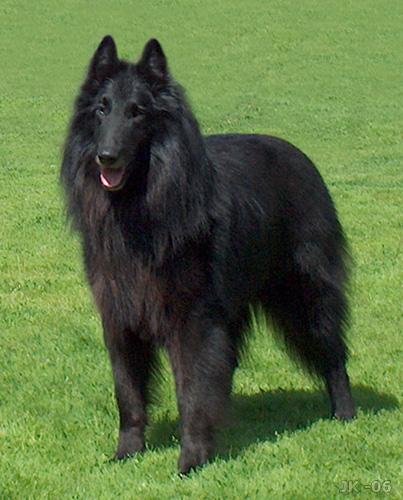 Majorca Shepherd Puppies: Majorca Belgian Shepherd Dog Groenendael Breed