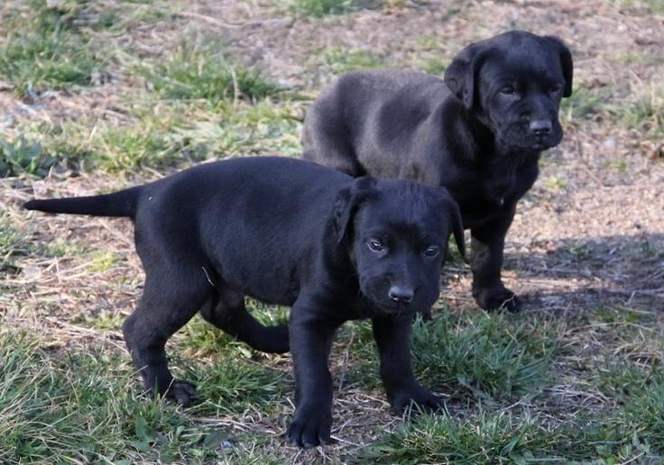 Majorca Shepherd Puppies: Majorca Breed