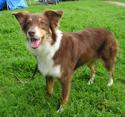 Majorca Shepherd Puppies: Majorca Dateiaustralianshepherdrottricolor Breed