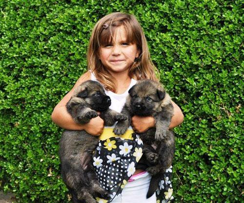 Majorca Shepherd Puppies: Majorca Lost Or Stolen German Shepherd Dogs Breed