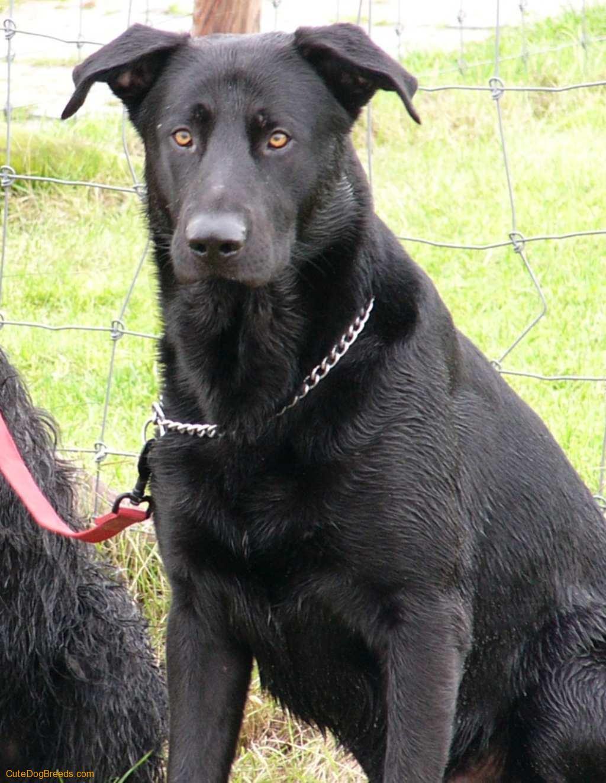 Majorca Shepherd Dog: Majorca Majorca Shepherd Dog Breed
