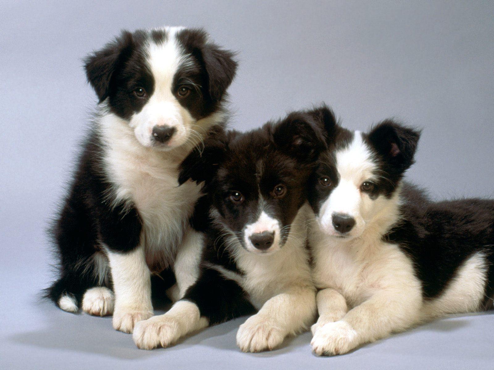 Majorca Shepherd Puppies: Majorca Pit Bulls Breed