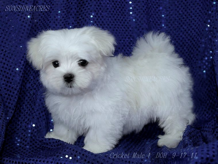 Maltese Puppies: Maltese Available Breed