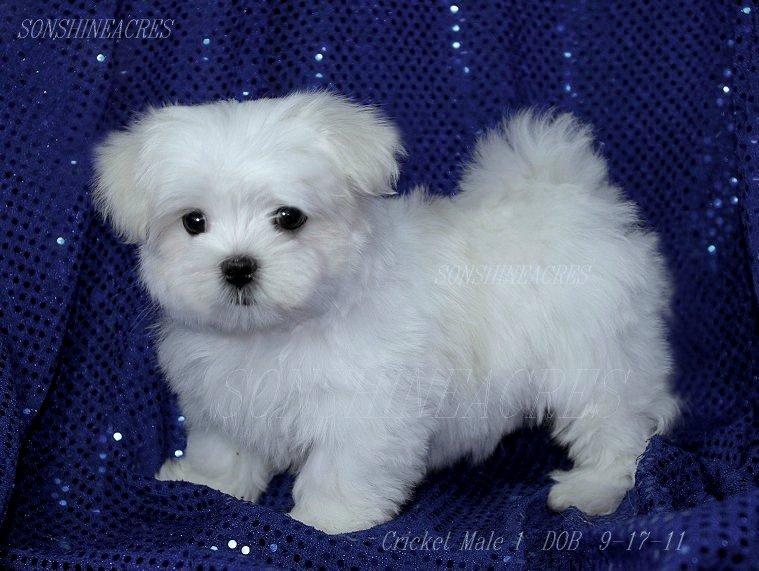 Maltese Puppies Puppy Dog Gallery