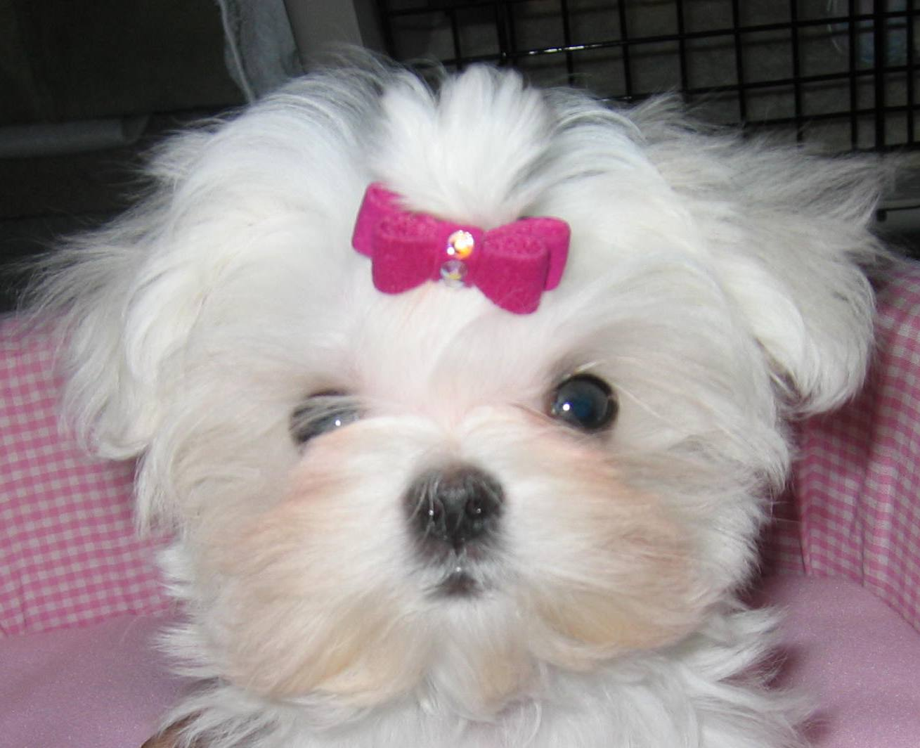 Maltese Dog: Maltese Breed