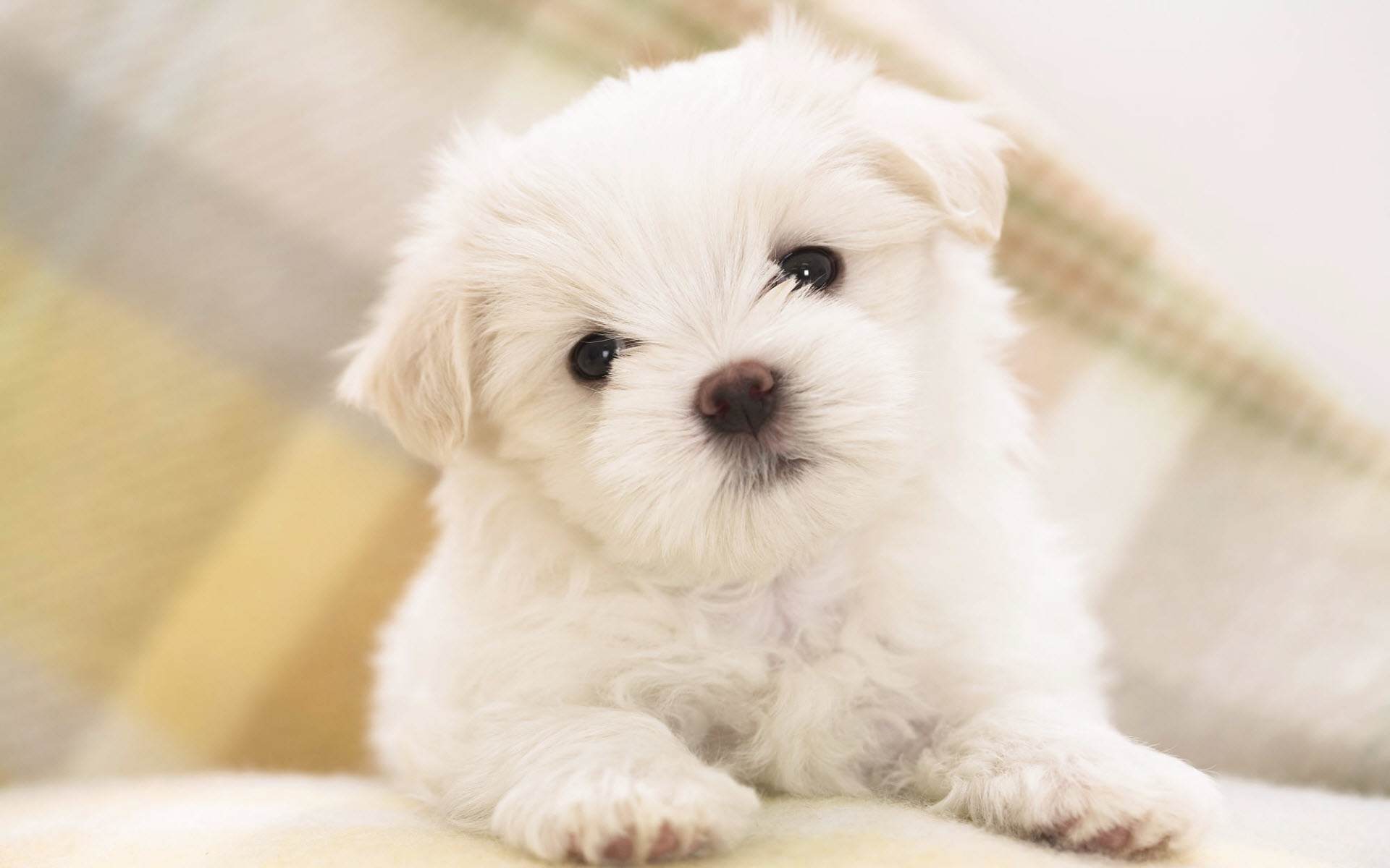 Maltese Dog: Maltese Maltese Breed