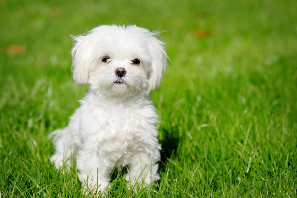 Maltese Puppies: Maltese Maltese Dog Breed