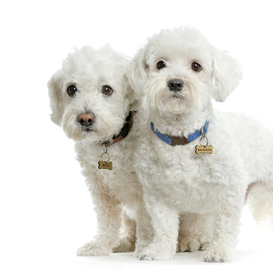 Maltese Dog: Maltese Maltese Dog Picture Breed