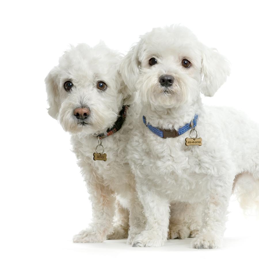 Maltese Dog: Maltese Maltese Dog Picture Breed
