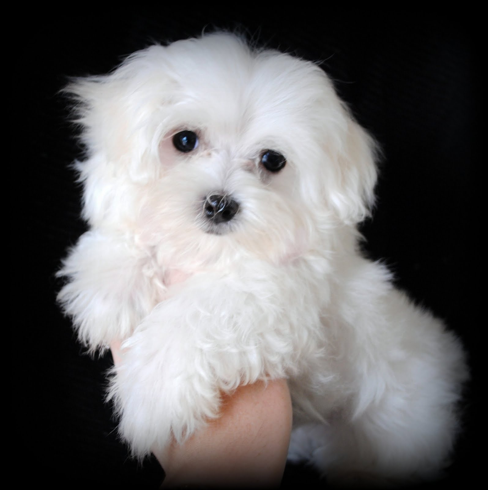 Maltese Dog: Maltese Maltese Dog Portrait Breed