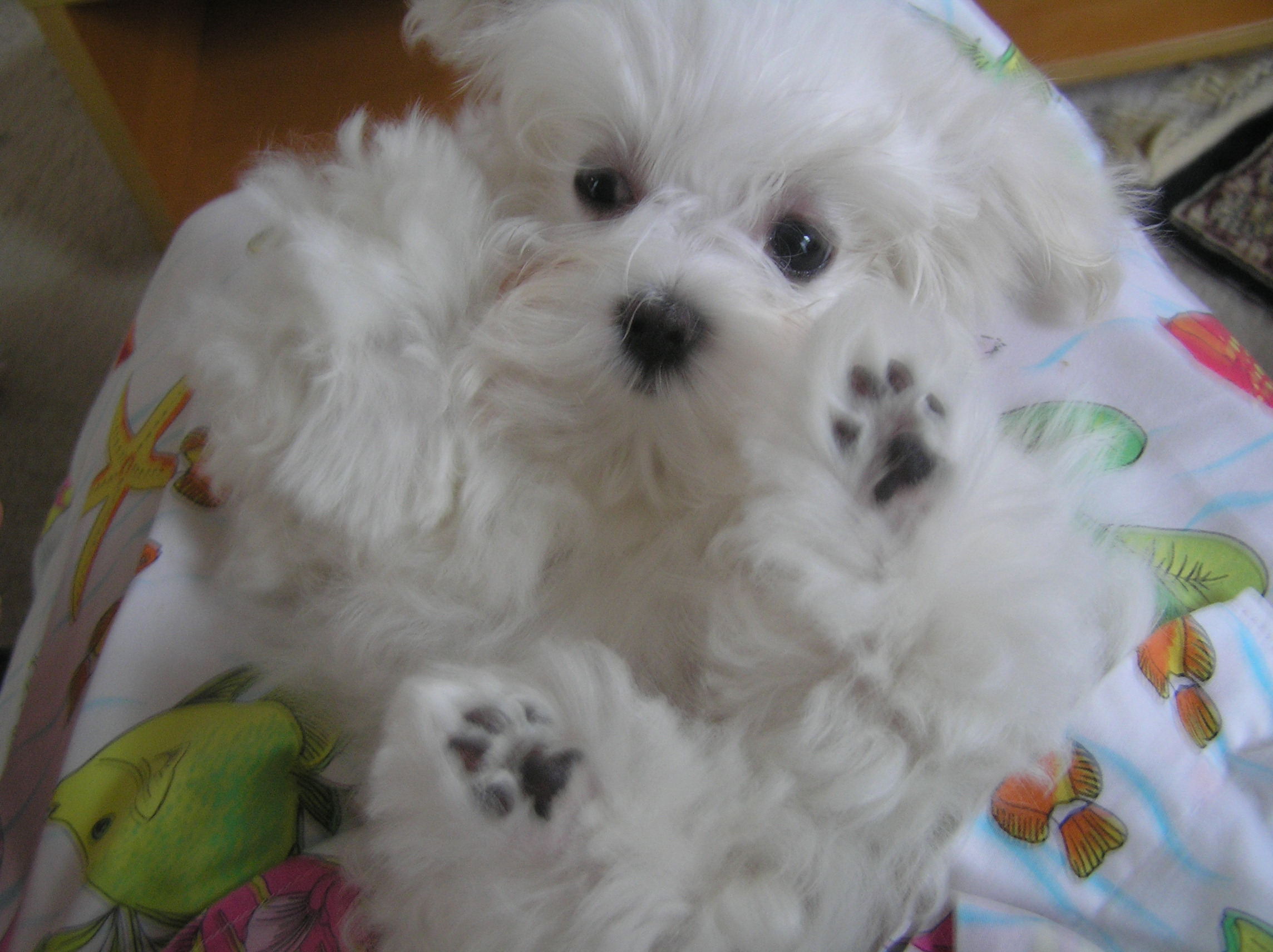 Maltese Puppies: Maltese Maltese Dogs Breed