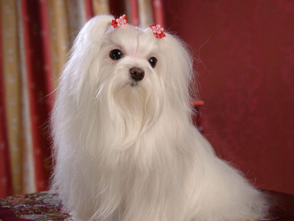 Maltese Dog: Maltese Maltese Dogs S Breed