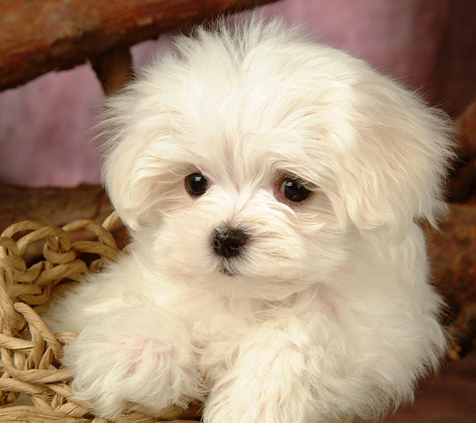 Maltese Dog: Maltese Maltese Terrier Puppy Picture And Breed