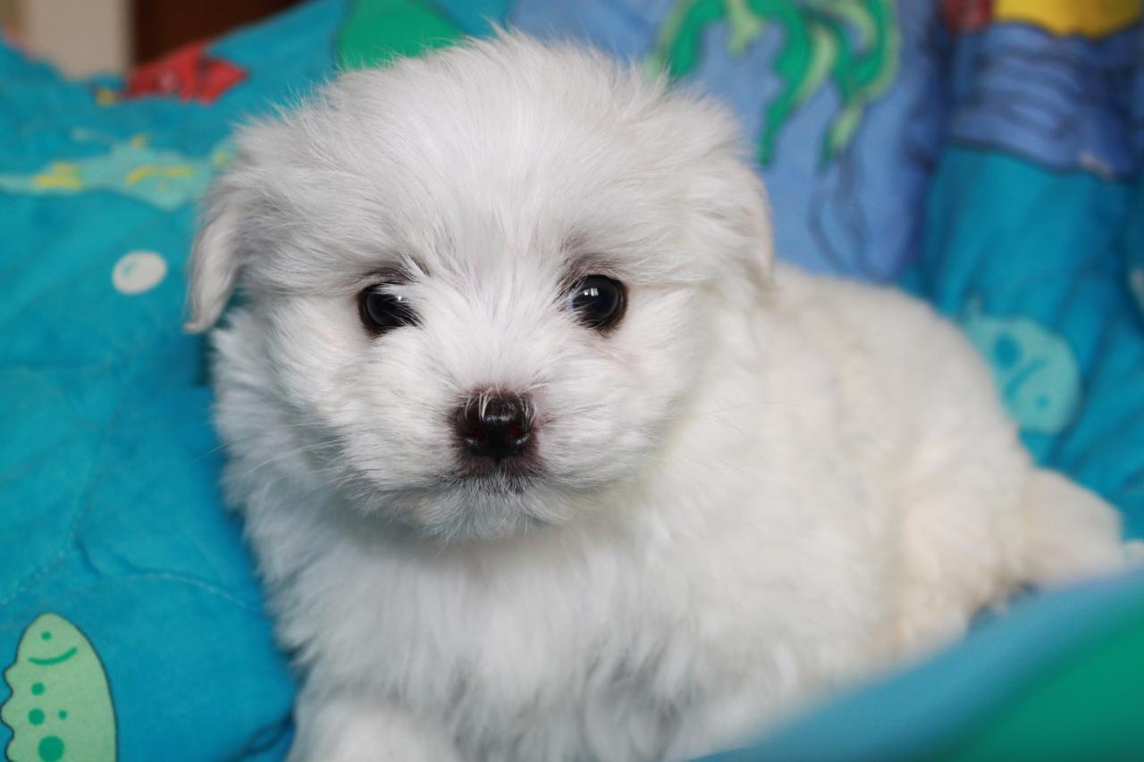 Maltese Dog: Maltese Puppiesden Breed