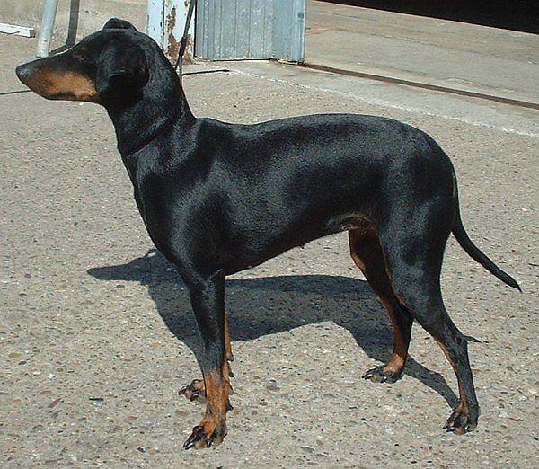 Manchester Terrier Dog: Manchester Index Breed
