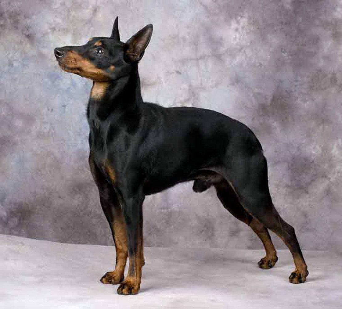 Manchester Terrier Dog: Manchester Manchester Terrier Breed