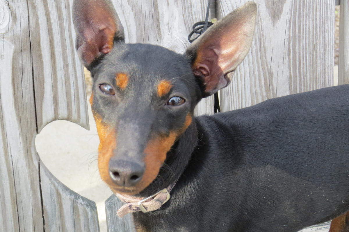 Manchester Terrier Puppies: Manchester Manchester Terrier Puppies Breed