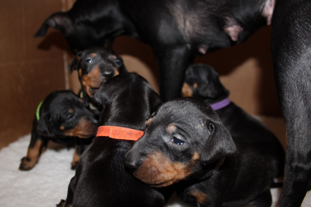 Manchester Terrier Puppies: Manchester Manchester Terrier Puppies Street Breed